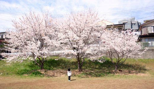 さくら散歩 – 2013 桜
