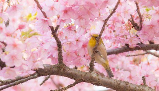 松田山ハーブガーデンへ河津桜を観に行きました