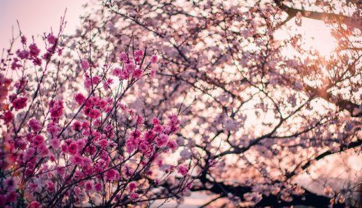さくら散歩 – 今年も桜が超美しかったです – 2015 桜