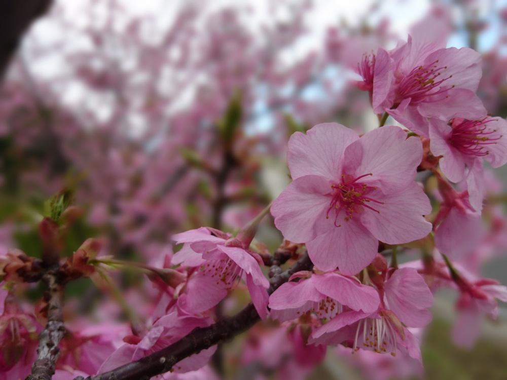 元画像 河津桜