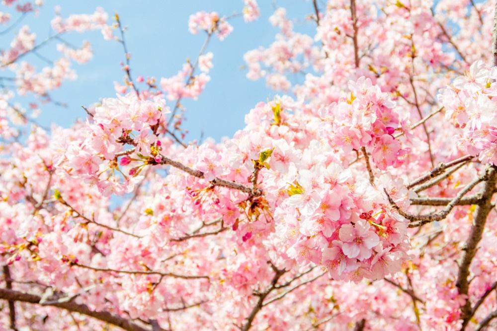 青空と河津桜のコラボレーション
