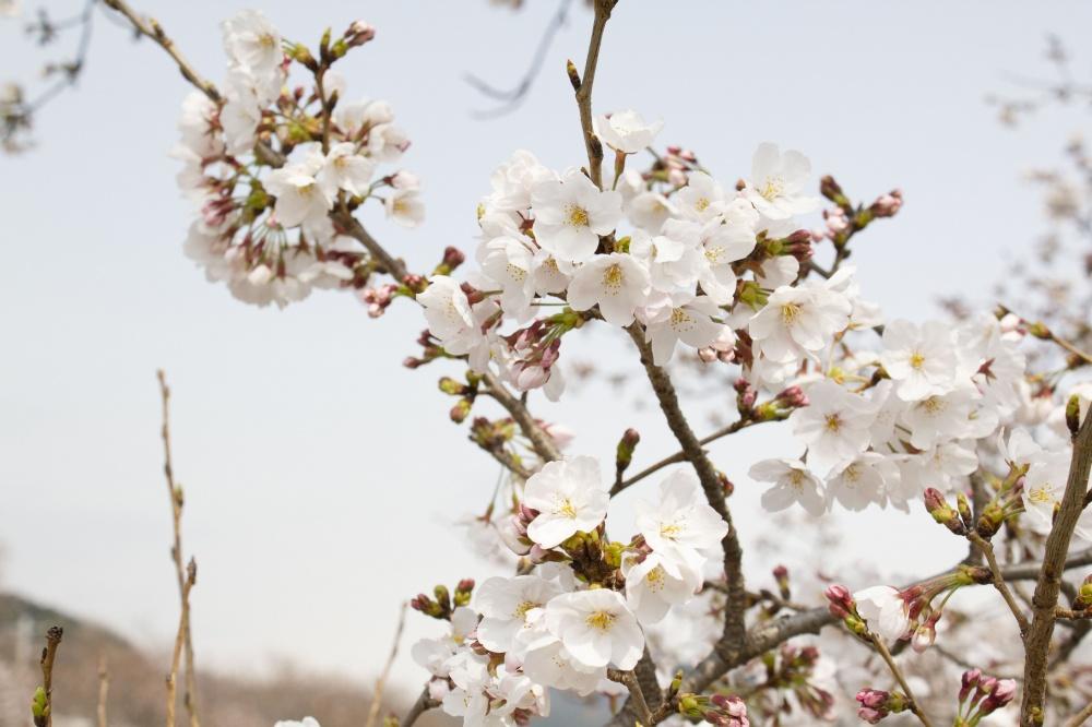 空がくすんでしまった桜の写真