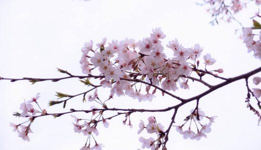さくら散歩 – 2014 桜