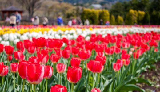 7万本のチューリップを観てきました!-神奈川県立秦野戸川公園