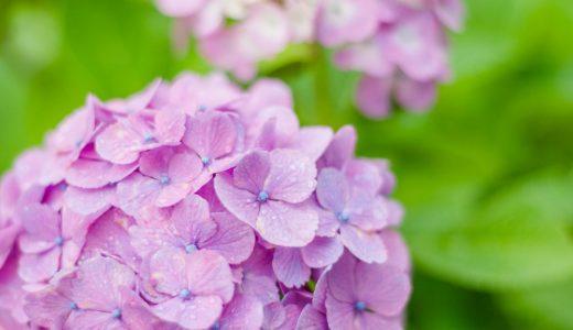 紫陽花を撮影してきました in 神奈川県秦野市「戸川公園」