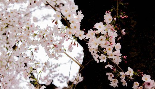 さくら散歩 – 今年は青空に恵まれませんでした – 2016桜
