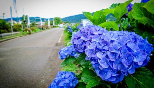 神奈川県開成町「あじさいの里」へ満開の紫陽花を見にいきました