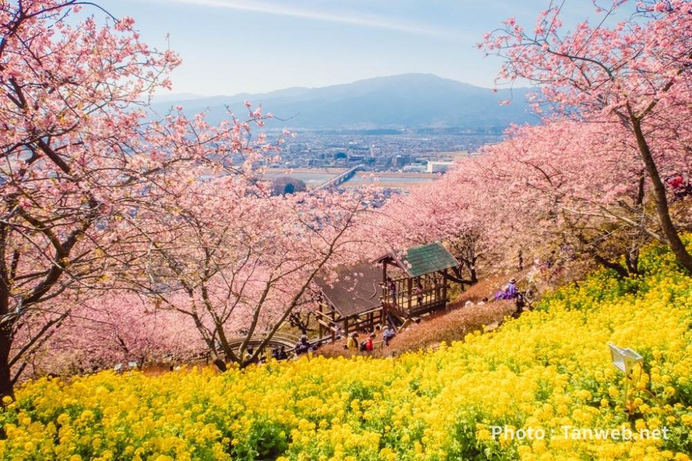 松田山ハーブガーデンの河津桜
