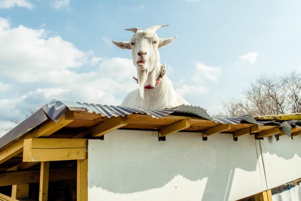屋根の上。いけ好かない顔のヤギ