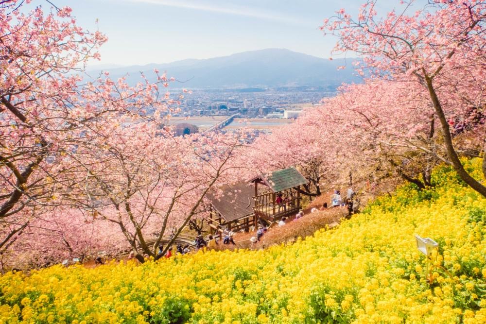 松田山ハーブガーデン「菜の花と河津桜のコラボレーション」