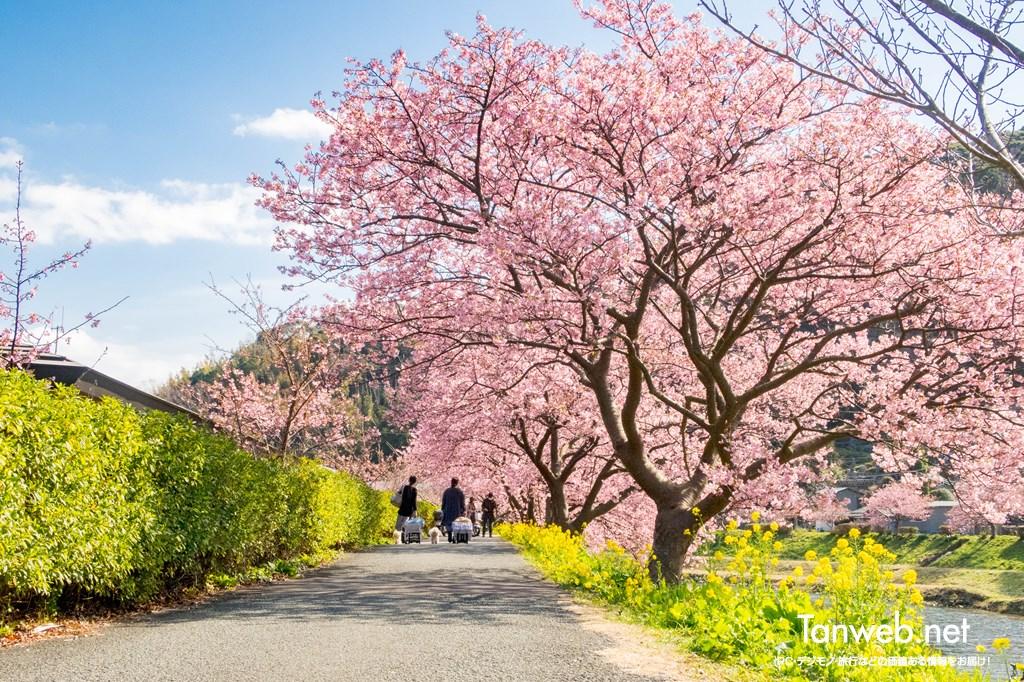 「青野川千本桜」を鑑賞・・・美しい河津桜を愛でる01
