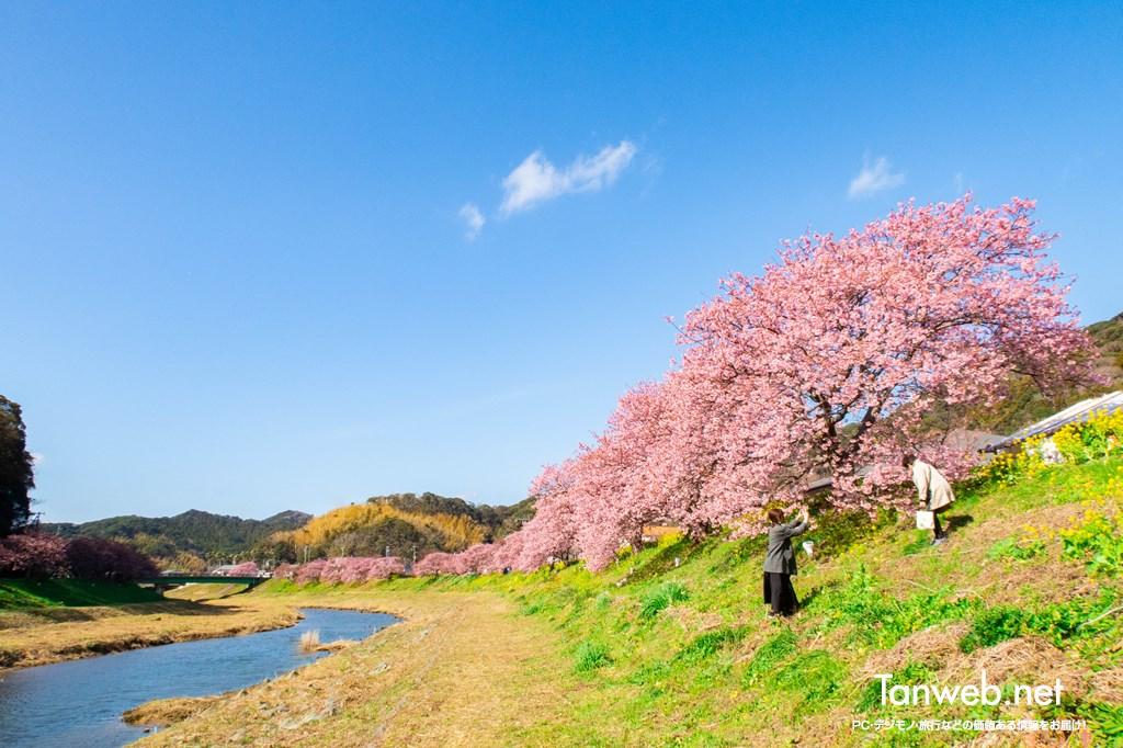 「青野川千本桜」を鑑賞・・・美しい河津桜を愛でる02
