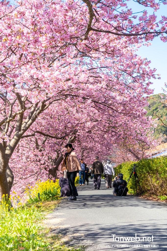 「青野川千本桜」を鑑賞・・・美しい河津桜を愛でる04