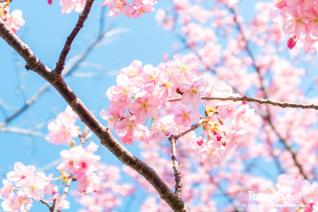 「青野川千本桜」を鑑賞・・・美しい河津桜を愛でる03