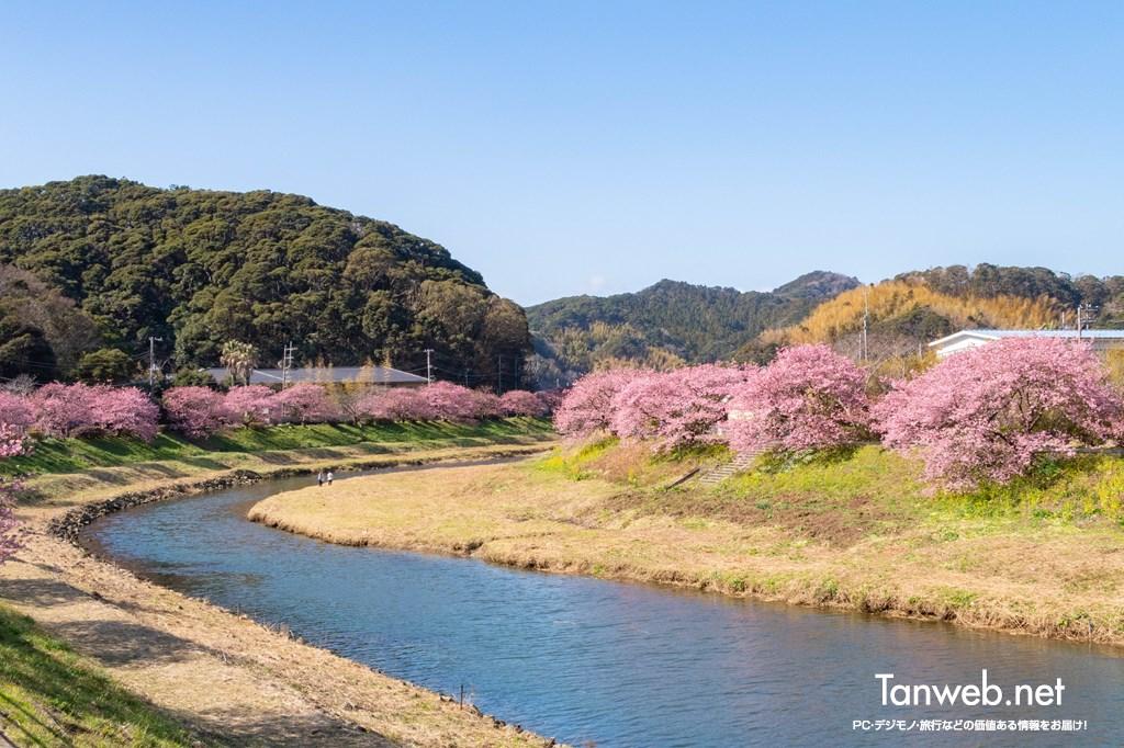 南伊豆町の河津桜の名所「青野川沿いの千本桜」