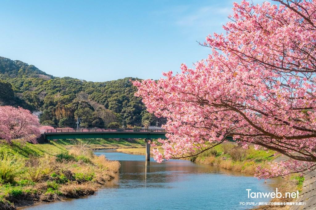 「青野川千本桜」を鑑賞・・・美しい河津桜を愛でる06