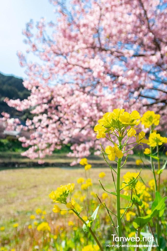 「青野川千本桜」を鑑賞・・・美しい河津桜を愛でる05