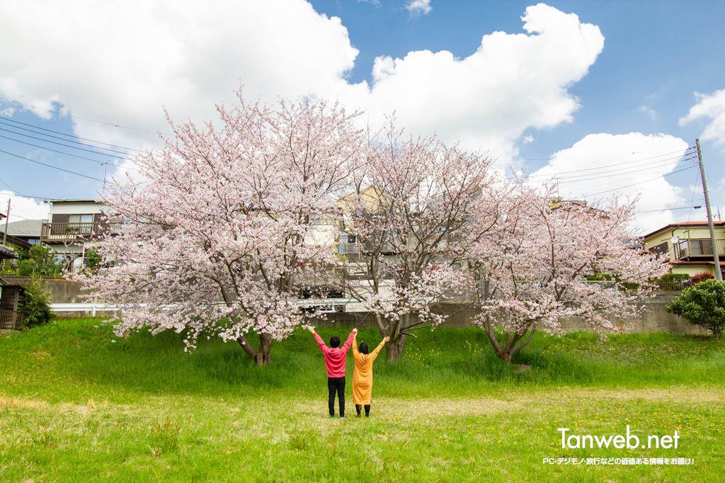 毎年同じ場所・同じ桜の木の前で夫婦の記念写真を撮る02