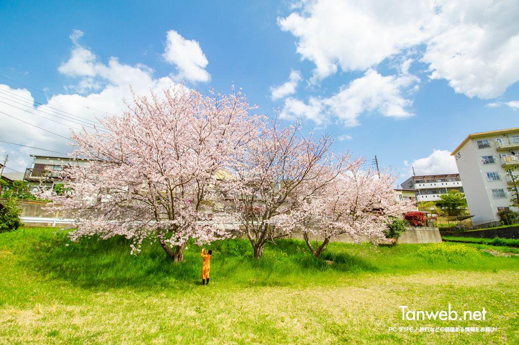 毎年同じ場所・同じ桜の木の前で夫婦の記念写真を撮る01