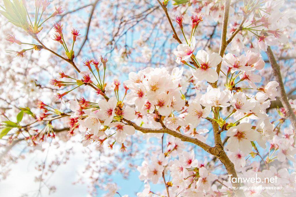 毎年同じ場所・同じ桜の木の前で夫婦の記念写真を撮る03