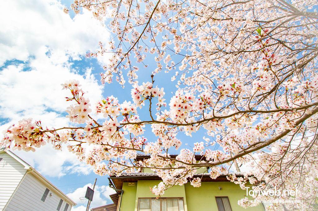 毎年同じ場所・同じ桜の木の前で夫婦の記念写真を撮る04