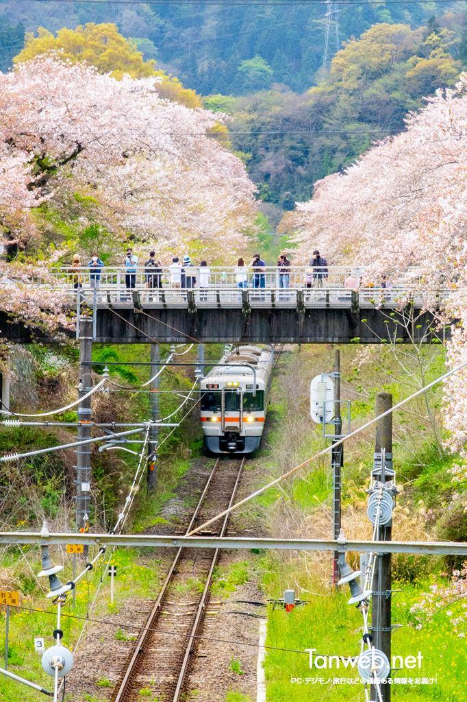 桜の木と御殿場線01