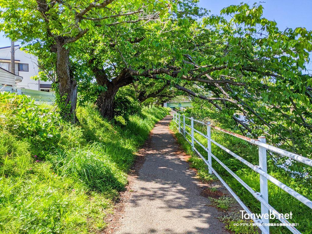 金目川サイクリングコース「桜並木をくぐる」